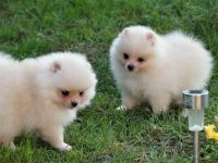 Pomeranian Puppies for sale in Torrance, CA, USA. price: NA