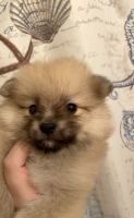 Pomeranian Puppies for sale in Hialeah, FL 33018, USA. price: NA