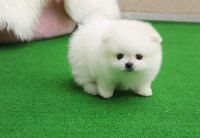 Pomeranian Puppies for sale in Juneau, AK, USA. price: NA