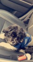 Pomeranian Puppies for sale in Shelby Charter Twp, MI, USA. price: NA