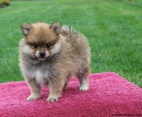 Pomeranian Puppies for sale in Orlando, FL 32804, USA. price: NA
