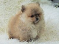 Pomeranian Puppies for sale in Chicago, IL 60616, USA. price: NA
