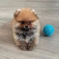 Pomeranian Puppies for sale in Longview Ave, White Plains, NY, USA. price: NA