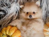 Pomeranian Puppies for sale in Randleman, NC 27317, USA. price: NA