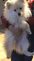 Pomeranian Puppies for sale in Greeley, CO, USA. price: NA