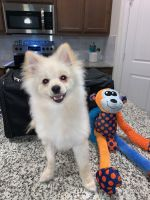 Pomeranian Puppies for sale in Carrollton, TX, USA. price: NA