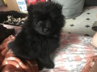 Pomeranian Puppies for sale in Volcano, HI, USA. price: NA