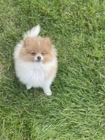 Pomeranian Puppies for sale in Sterling Heights, MI 48314, USA. price: NA