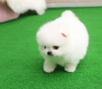 Pomeranian Puppies for sale in Kansas City, MO, USA. price: NA