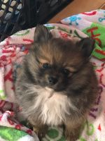 Pomeranian Puppies for sale in Kendallville, IN 46755, USA. price: NA