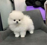 Pomeranian Puppies for sale in Atlanta, GA, USA. price: NA