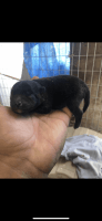 Pomeranian Puppies for sale in 2008 St Theresa Way, Modesto, CA 95358, USA. price: NA
