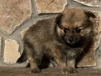 Pomeranian Puppies for sale in Acworth, GA, USA. price: NA