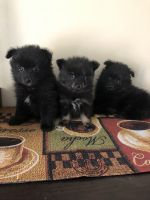 Pomeranian Puppies for sale in Moses Lake, WA 98837, USA. price: NA