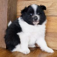 Pomeranian Puppies for sale in Santa Clara, CA, USA. price: NA