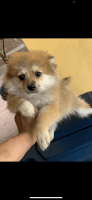 Pomeranian Puppies for sale in El Paso, TX, USA. price: NA