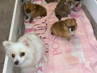 Pomeranian Puppies for sale in Johnsburg, IL 60051, USA. price: NA