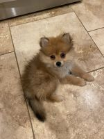 Pomeranian Puppies for sale in Denton, TX, USA. price: NA