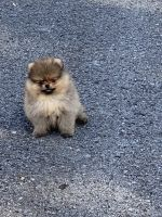 Pomeranian Puppies for sale in Brentwood, TN, USA. price: NA