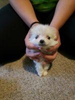 Pomeranian Puppies for sale in Marietta, GA, USA. price: NA