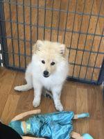 Pomeranian Puppies for sale in San Ysidro, San Diego, CA, USA. price: NA