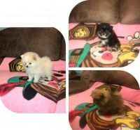 Pomeranian Puppies for sale in Miramar, FL 33025, USA. price: NA