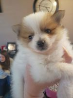 Pomeranian Puppies for sale in Provo, UT, USA. price: NA