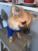 Pomeranian Puppies for sale in Phoenix, AZ 85021, USA. price: NA