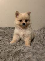 Pomeranian Puppies for sale in Villa Rica, GA 30180, USA. price: NA