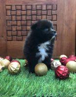 Pomeranian Puppies for sale in San Bernardino, CA, USA. price: NA