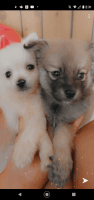Pomeranian Puppies for sale in San Antonio, TX, USA. price: NA