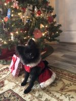 Pomeranian Puppies for sale in Bluffton, SC 29909, USA. price: NA