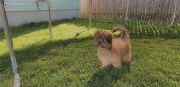 Pomeranian Puppies for sale in Warren, MI, USA. price: NA