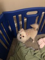 Pomeranian Puppies for sale in Houston, TX 77077, USA. price: NA