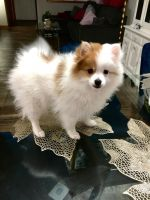 Pomeranian Puppies for sale in Burnsville, MN 55337, USA. price: NA