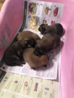 Pomeranian Puppies for sale in Valrico, FL 33594, USA. price: NA