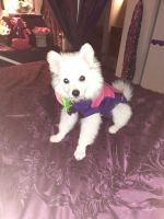 Pomeranian Puppies for sale in Baltimore County, MD, USA. price: NA
