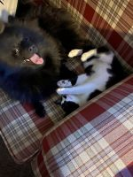 Pomeranian Puppies for sale in Caldwell, ID, USA. price: NA