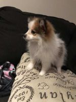 Pomeranian Puppies for sale in Lancaster, CA, USA. price: NA
