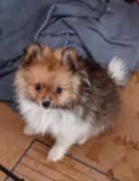 Pomeranian Puppies for sale in McAllen, TX, USA. price: NA