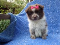 Pomeranian Puppies for sale in La Habra Heights, CA, USA. price: NA
