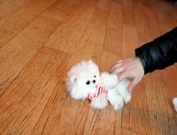 Pomeranian Puppies for sale in Los Angeles, CA 90012, USA. price: NA