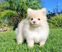 Pomeranian Puppies for sale in Louisiana Purchase, Aurora, CO 80017, USA. price: NA