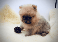 Pomeranian Puppies for sale in S Santa Monica St, Deming, NM 88030, USA. price: NA
