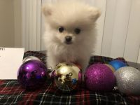Pomeranian Puppies for sale in Cary, NC, USA. price: NA