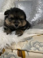 Pomeranian Puppies for sale in San Diego, CA 92115, USA. price: NA