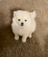 Pomeranian Puppies for sale in San Dimas, CA, USA. price: NA