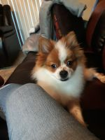 Pomeranian Puppies for sale in Garland, TX, USA. price: NA