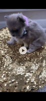 Pomeranian Puppies for sale in McDonough, GA, USA. price: NA