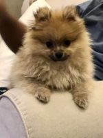 Pomeranian Puppies for sale in Baldwin, NY, USA. price: NA